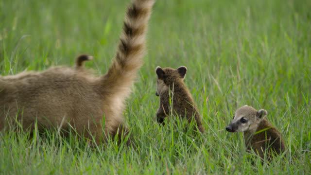 Coati cubs (Nasua nasua) follow mother grazing amongst grass.