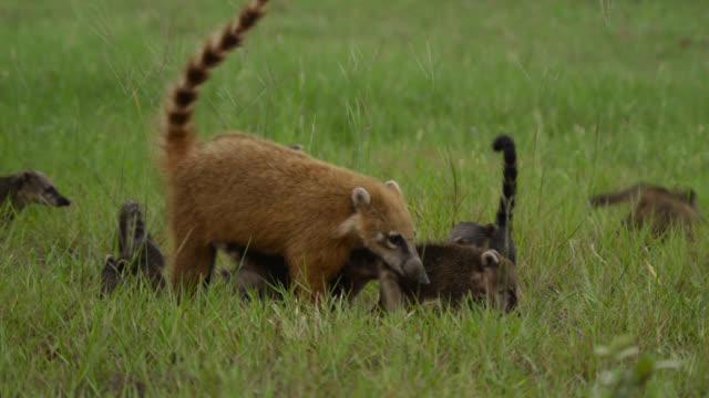 Coati cubs (Nasua nasua) follow mother through grass.