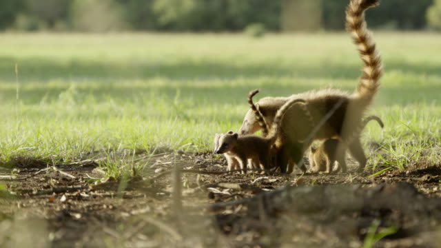 coati cubs (nasua nasua) follow mother through grassland. - grazing stock videos & royalty-free footage
