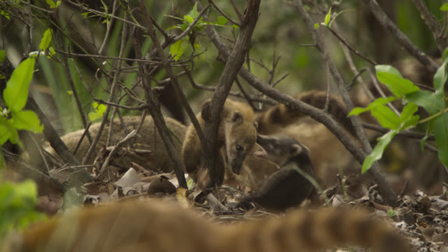 coati cubs (nasua nasua) play fight as they clamber in bushes. - south america stock videos & royalty-free footage