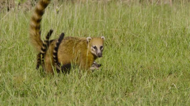 Coati (Nasua nasua) cubs weave through mother's legs as she walks.