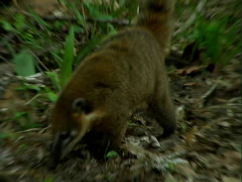 A coati forages for food in the rainforest.