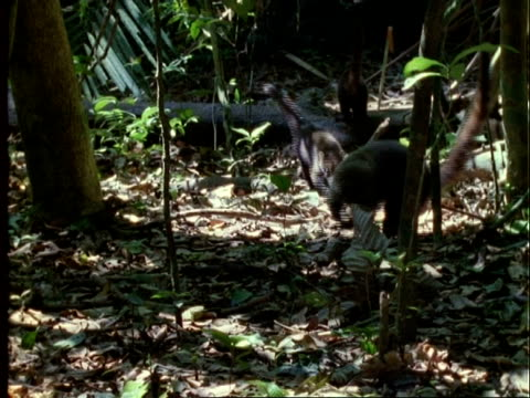 coati, ms group of coatis foraging and eating dipteryx fruit, camera pulls out to other coatis eating fruit, panama - foraging stock videos and b-roll footage