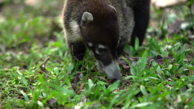 cu coati in the grass - costa rica stock videos and b-roll footage