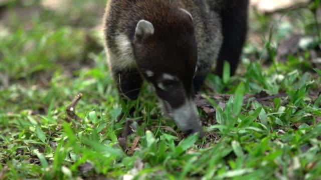 CU Coati in the grass