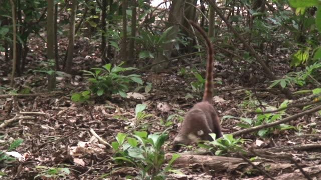 Coati (Pizonte) in the rain forest