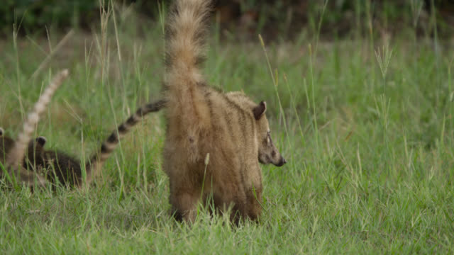 coati (nasua nasua) mother and cubs run under bush. - hiding stock videos & royalty-free footage