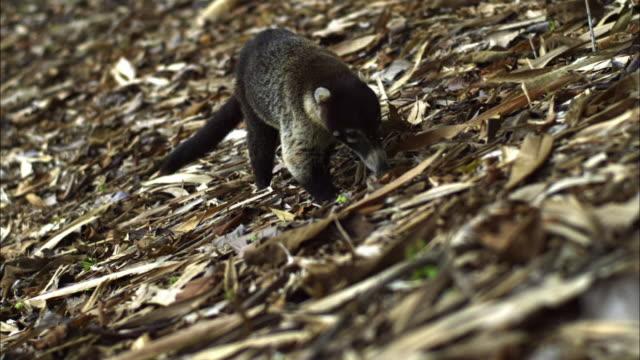 A coati sniffs along the ground.