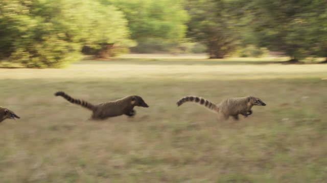 Coati troop (Nasua nasua) attack and drive a coati away.