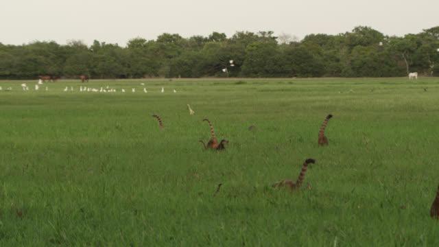 stockvideo's en b-roll-footage met coati (nasua nasua) troop walk through grassland with wading birds. - reiger