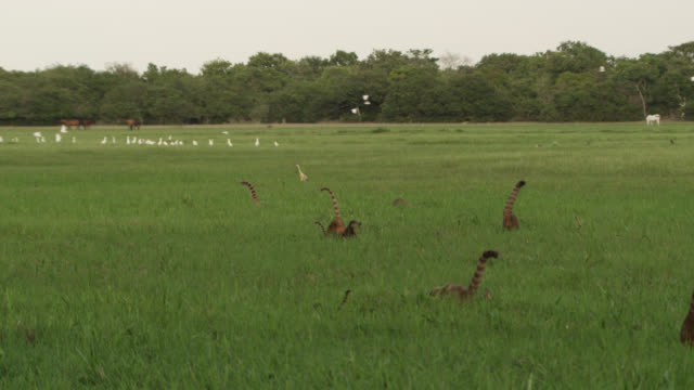 coati (nasua nasua) troop walk through grassland with wading birds. - heron stock videos & royalty-free footage