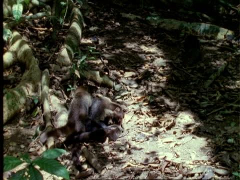 Coati, WA three coatis grooming, agouti in background, zoom in, Panama
