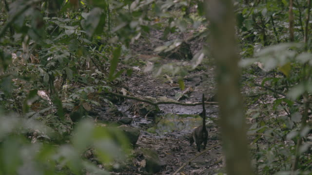 MS TU TD Coati walking and searching in forest / Panamá Province, Panama