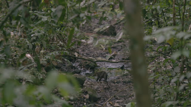 MS Coati walking and searching in forest / Panamá Province, Panama