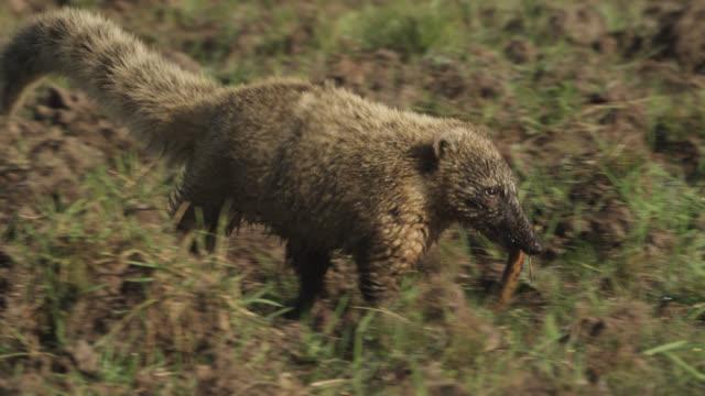 Coati (Nasua nasua) walks across muddy ground carrying snake carcass.