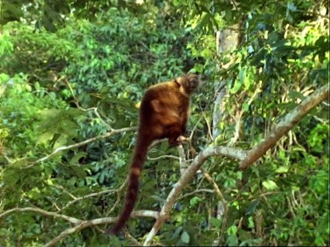 Coati (Nasua), walks along branches.
