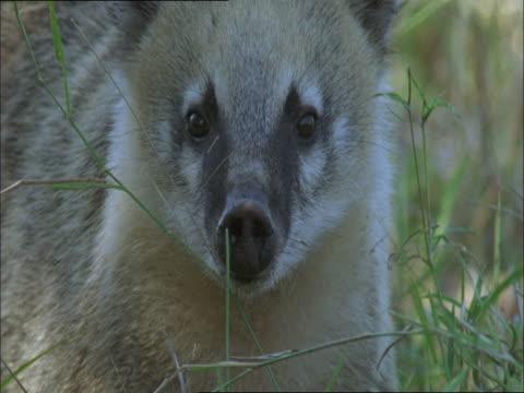 vídeos de stock, filmes e b-roll de a coati watches for danger then forages among tall grass. - medo