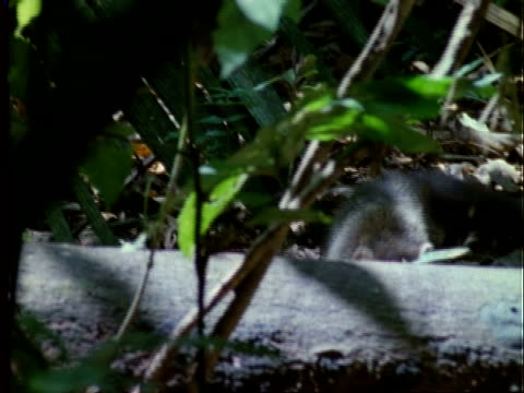 Coati, MS young coati walking through forest, climbs on and walks along log, Panama