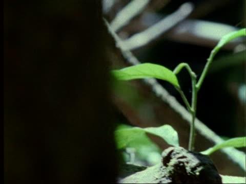 Coati, CU young coati walking through forest, climbs on and walks along log, Panama