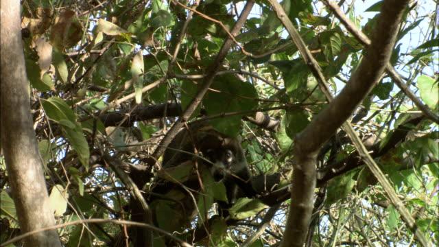 MS Coatimundi climbing on tree / Guanacaste, Costa Rica