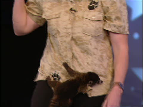a coatimundi crawls up the legs and chest of an animal trainer. - televisione a ultra alta definizione video stock e b–roll