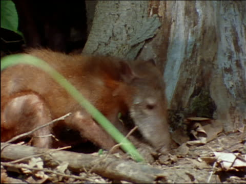 coatimundi digging for food amongst roots of tree / eating / amazon - 掘る点の映像素材/bロール