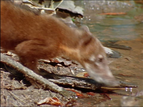 coatimundi foraging along bank of river / amazon - foraging stock videos and b-roll footage