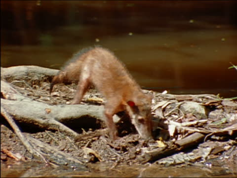 coatimundi foraging amongst roots of tree in muddy river / amazon - foraging stock videos and b-roll footage