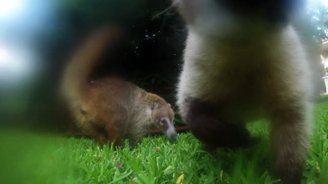 coatis are beautiful and furry little creatures that look like a cross between a long nosed raccoon and a teddy bear.they are common in central and... - human nose stock videos & royalty-free footage