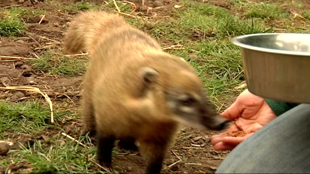 coatis at battersea park zoo various of coatis balancing on rope / coatis feeding from keeper's hand / coati going up plank into house then coming... - plank variation stock videos & royalty-free footage