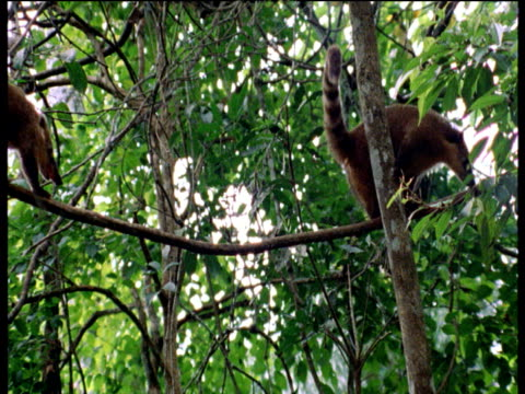 Coatis climb and clamber among forest canopy,
