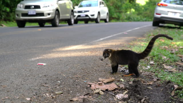 MS Coatis crossing the road