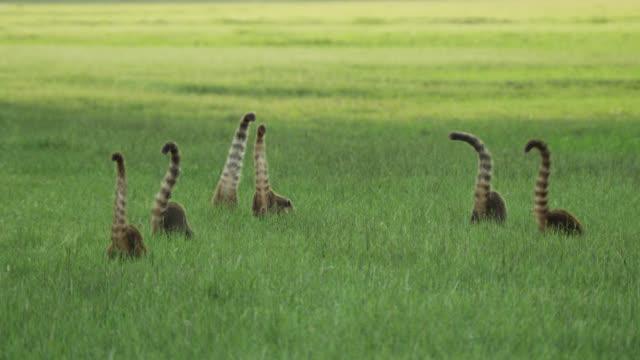 Coatis (Nasua nasua) forage amongst grass.