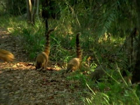 Coatis forage for food beneath fallen leaves in the rainforest.