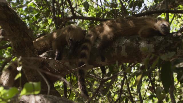 Coatis (Nasua nasua) sleep on tree branch.