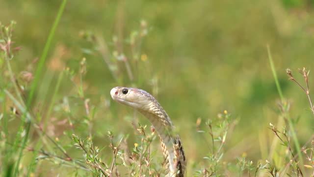 stockvideo's en b-roll-footage met cobra felle en agressief - camouflage