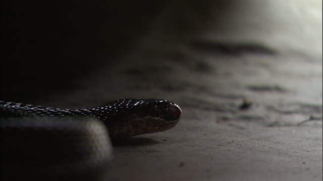cobra hides in dark corner of house, uttar pradesh available in hd. - snake stock videos and b-roll footage