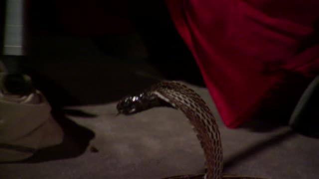 cu tu cobra (naja naja) in wicker basket and snake charmer playing ornately decorated makuti flute, delhi, india - hypnosis stock videos & royalty-free footage