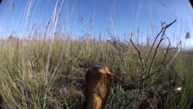 A cobra rears up in the grass and strikes. Available in HD.