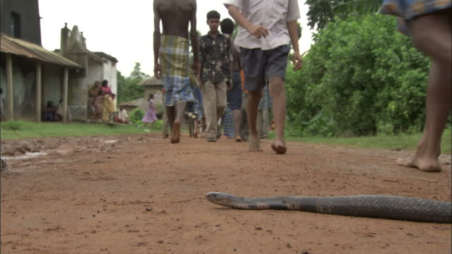 vidéos et rushes de cobra slithers across path as people walk past, uttar pradesh available in hd. - danger
