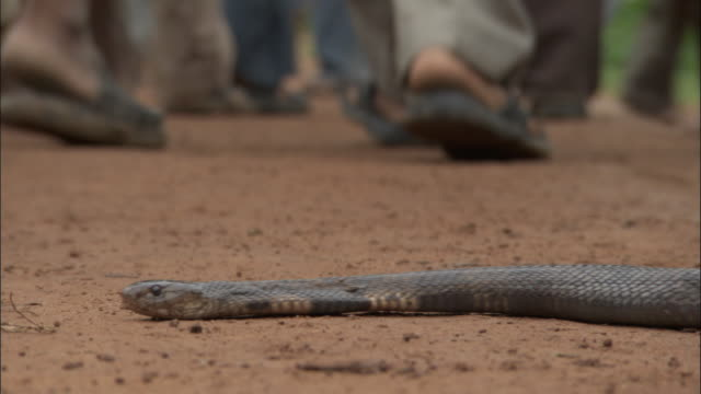 Cobra slithers across path as people walk past, Uttar Pradesh Available in HD.
