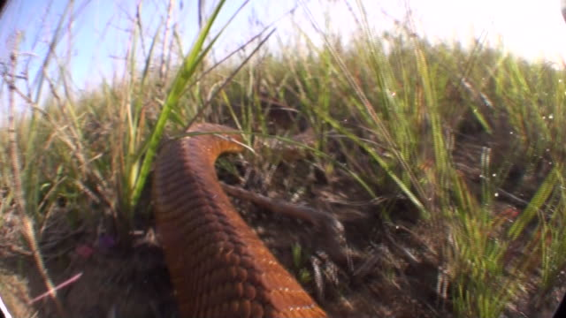 stockvideo's en b-roll-footage met a cobra slithers through the grass. available in hd. - slang reptiel