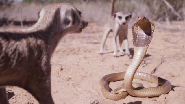 vídeos de stock, filmes e b-roll de cobra (naja nivea) strikes at meerkat (suricata suricatta) in desert, south africa - perigo