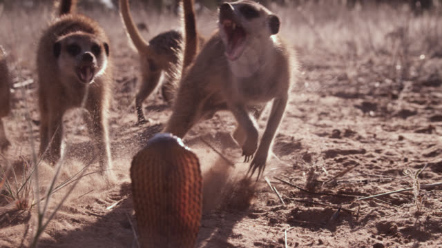 cobra (naja nivea) strikes at meerkats (suricata suricatta) in desert, south africa - snake stock videos & royalty-free footage