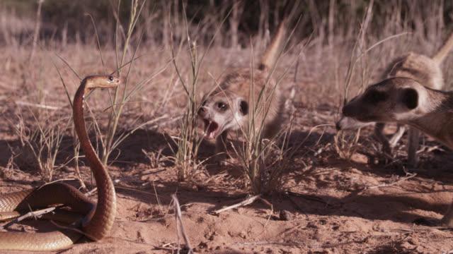 cobra (naja nivea) strikes at meerkats (suricata suricatta) in desert, south africa - schlange kriechtier stock-videos und b-roll-filmmaterial
