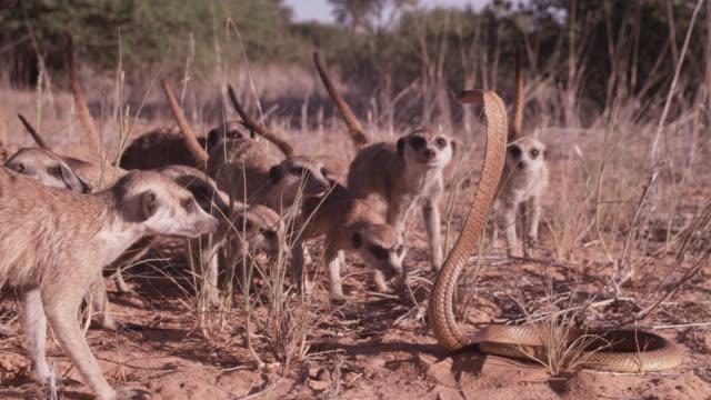 Cobra (Naja nivea) strikes at meerkats (Suricata suricatta) in desert, South Africa