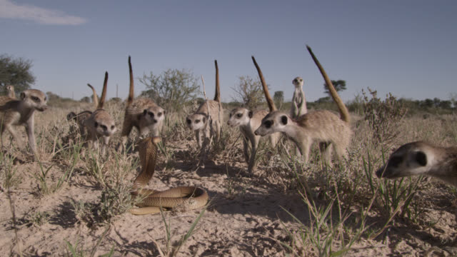 vidéos et rushes de cobra (naja nivea) strikes at meerkats (suricata suricatta) in desert, south africa - format hd