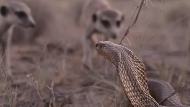 cobra (naja nivea) strikes at meerkats (suricata suricatta) in desert, south africa - meerkat stock videos & royalty-free footage