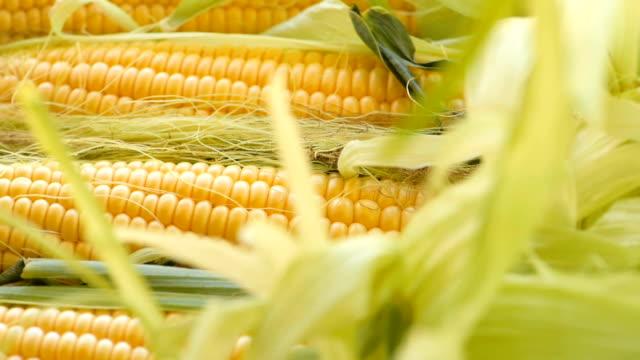 穂軸 の原油トウモロコシ - 野菜 とうもろこし点の映像素材/bロール