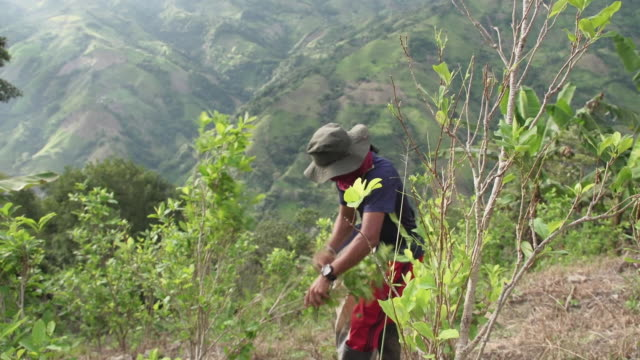 coca leaves being harvested in the colombian andes and being made into cocaine - drogenart stock-videos und b-roll-filmmaterial